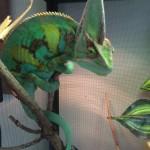 Chameleon (gallery)